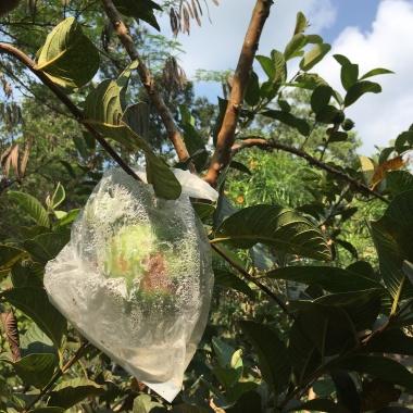 Dozrieva guava