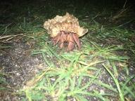 Kokosový krab