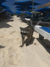 Racoon na pláži - je to zlodej!