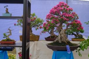 Víťaz medzi bonsajmi